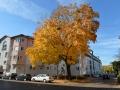 Baum in der Pfeuferstraße  Foto: Ronald Rinklef