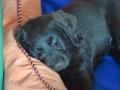 Labradoodle Maggie  Foto:Ronald Rinklef
